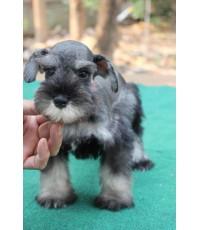 ลูกสุนัขมิเนเจอร์ ชเนาเซอร์ เพศเมีย สี Black and Silver เชือกคอส้ม
