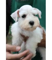 ลูกสุนัขมิเนเจอร์ ชเนาเซอร์ เพศผู้ สี ขาว เชือกคอสีแดง