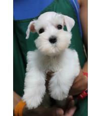 ลูกสุนัขมิเนเจอร์ ชเนาเซอร์ เพศเมีย สี ขาว เชือกคอสีม่วง