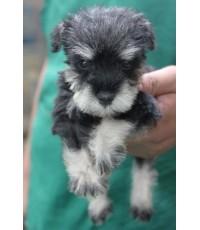 ลูกสุนัขมิเนเจอร์ ชเนาเซอร์ เพศผู้ สี Salt and Pepper เชือกคอสีฟ้า