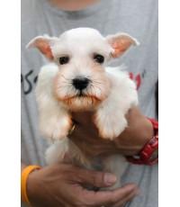 `ลูกสุนัขมิเนเจอร์ ชเนาเซอร์ เพศผู้ สีขาว เชือกคอสี่น้ำตาล