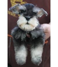 `ลูกสุนัขมิเนเจอร์ ชเนาเซอร์ เพศผู้ สี Salt and Pepper เชือกคอสีฟ้า