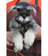 `ลูกสุนัขมิเนเจอร์ ชเนาเซอร์ เพศเมีย สี Salt and Pepper เชือกคอสีส้ม