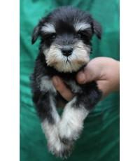 ลูกสุนัขมิเนเจอร์ ชเนาเซอร์ เพศผู้ สี ฺBlack and Silver เชือกคอเขียว