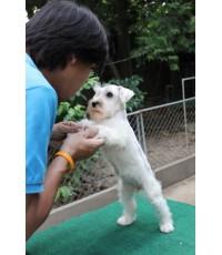 ลูกสุนัขมิเนเจอร์ ชเนาเซอร์ เพศเมีย สีขาว เชือกคอสีนำ้ตาล