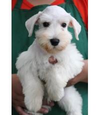 ลูกสุนัขมิเนเจอร์ ชเนาเซอร์ เพศผู้ สีขาว