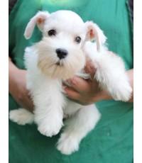 ลูกสุนัขมิเนเจอร์ ชเนาเซอร์ เพศเมีย สีขาว เชือกคอสีชมพู