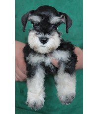 ลูกสุนัขมิเนเจอร์ ชเนาเซอร์ เพศเมีย สี Black and Silver  เชือกคอสีน้ำตาล