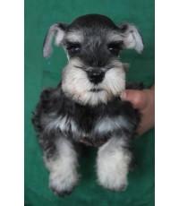 ลูกสุนัขมิเนเจอร์ ชเนาเซอร์ เพศเมีย สี Salt and Pepper  เชือกคอสีฟ้า