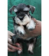 ลูกสุนัขมิเนเจอร์ ชเนาเซอร์ เพศผู้ สี Salt and Pepper  เชือกคอสีชมพู