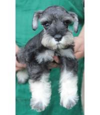ลูกสุนัขมิเนเจอร์ ชเนาเซอร์ เพศเมีย สี Salt and Pepper  เชือกคอสีขาว