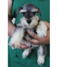 ลูกสุนัขมิเนเจอร์ ชเนาเซอร์ เพศผู้ สี Salt and Pepper  เชือกคอสีเขียว