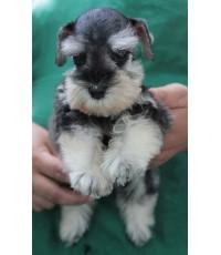 ลูกสุนัขมิเนเจอร์ ชเนาเซอร์ เพศผู้ สี Salt and Pepper  เชือกคอสีเขียวสะท้อนแสง