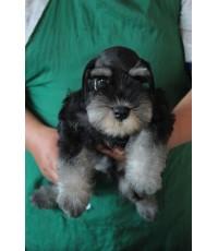 ลูกสุนัขมิเนเจอร์ ชเนาเซอร์ เพศผู้  Black  Silver เชือกคอสีฟ้า