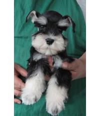 ลูกสุนัขมิเนเจอร์ ชเนาเซอร์ เพศเมีย  สี Black  Silver เชือกคอสีแดง