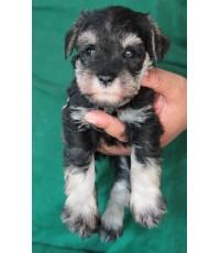 ลูกสุนัขมิเนเจอร์ ชเนาเซอร์ เพศเมีย  สี Salt  Pepper เชือกคอสีเขียว