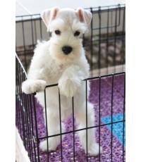 ลูกสุนัขมิเนเจอร์ ชเนาเซอร์ เพศผู้  สี White