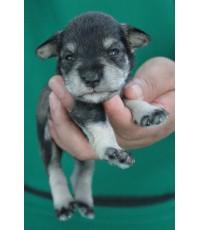 ลูกสุนัขมิเนเจอร์ ชเนาเซอร์ เพศผู้  สี Saltpepper   เชือกคอสีเหลือง