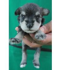 ลูกสุนัขมิเนเจอร์ ชเนาเซอร์ เพศผู้ สี Salt and Pepper เชือกคอม่วง
