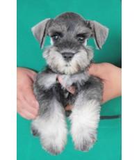ลูกสุนัขมิเนเจอร์ ชเนาเซอร์ เพศผู้ สี Salt  Pepper เชือกคอสีเขียว