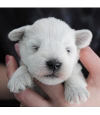 ลูกสุนัขมิเนเจอร์ ชเนาเซอร์ เพศเมีย  สี White   เชือกคอสีเขียว