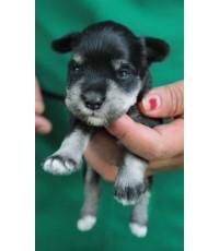 ลูกสุนัขมิเนเจอร์ ชเนาเซอร์ เพศผู้  สี BlackSilver  เชือกคอสีฟ้า