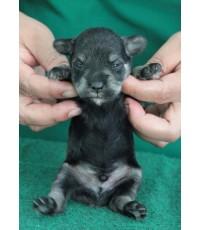 ลูกสุนัขมิเนเจอร์ ชเนาเซอร์ เพศผู้  สี Saltpepper   เชือกคอสีขาว