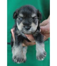ลูกสุนัขมิเนเจอร์ ชเนาเซอร์ เพศเมีย สี Salt and Pepper เชือกคอฟ้า