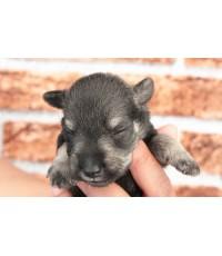 ลูกสุนัขมิเนเจอร์ ชเนาเซอร์ เพศผู้  สี SaltPepper   เชือกคอสีเขียว