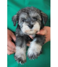 ลูกสุนัขมิเนเจอร์ ชเนาเซอร์ เพศเมีย สี Salt  Pepper เชือกคอสีน้ำเงิน