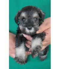 ลูกสุนัขมิเนเจอร์ ชเนาเซอร์ เพศเมีย สี Salt and Pepper เชือกคอแดง