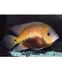 เพอร์ซี่ (Herichthys pearsei)