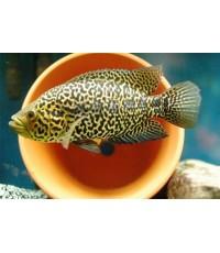 มานากวนเช่ (Parachromis managuensis)