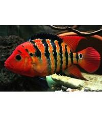 เฟสเต้ แดง Amphilophus Festae