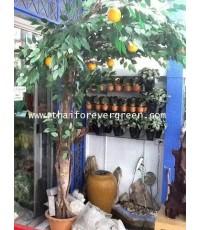 ต้นส้มเข้ามุมสูง 2.50 เมตร