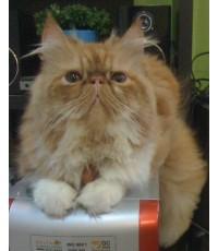 ขายลูกแมวเปอร์เซียหน้าบี้