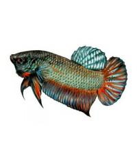 SAKURA Micro เม็ดแดง อาหารปลากัด เกรดพรีเมี่ยม บรรจุ 12 ซอง