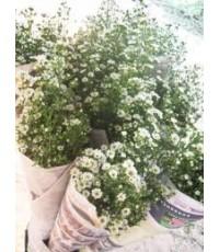 ดอกคัตเตอร์ สวน คัตเตอร์เชียงใหม่