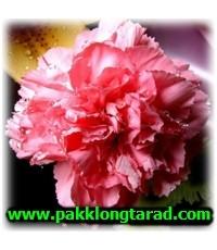 ดอกคาร์เนชั่น(Carnation, Dianthus caruyophyllus)