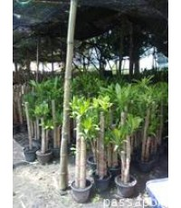 ต้นไม้ วาสนา ต้นไม้ไทย ต้นไม้มงคล ต้นไม้โบราณ