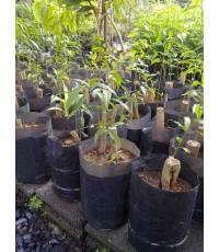 ผักหวานป่า ต้นไม้เเปลก ต้นไม้หายาก
