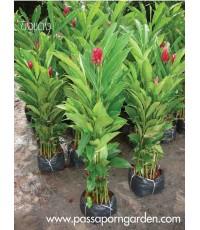 ต้นขิงเเดง ต้นไม้หน่อ ต้นไม้โบราณ เเละต้นไม้มงคลของไทย