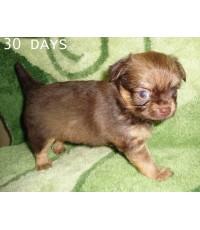ลูกชิวาวาขนยาว 30 วัน 4 ตัว