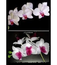 ดอก Moon Orchid (กล้วยไม้ราตรี) ดอกไม้ประจำชาติของ  สาธารณรัฐอินโดนีเซีย