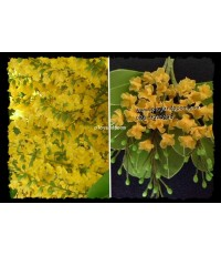 Padauk ประดู่ เป็นดอกไม้ประจำชาติของ สหภาพพม่า