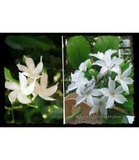 Sampaguita Jasmine ดอกพุดแก้ว เป็นดอกไม้ประจำชาติของสาธารณรัฐฟิลิปปินส์