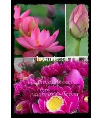 บัว เป็นดอกไม้ประจำชาติของ สาธารณรัฐสังคมนิยมเวียดนาม