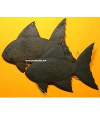 ปลาตะเพียนเงิน-ปลาตะเพียนทอง ลพ.เต๋ วัดสามง่าม