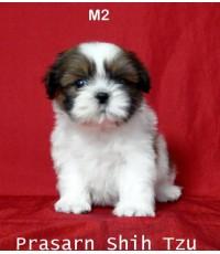 ลูกสุนัขชิสุเกิดวันที่ 2/03/2557 - M2