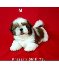 ลูกสุนัขชิสุเกิดวันที่ 15/08/2560 - M